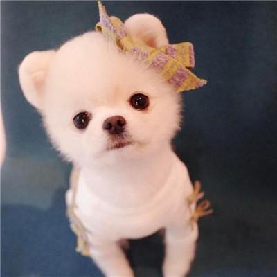 微信可爱茶杯犬头像
