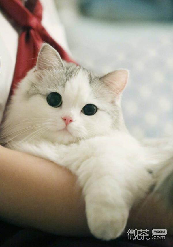 呆萌可爱布偶猫微信聊天背景